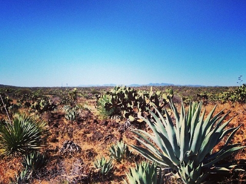 WILD AGAVE